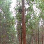 GE Eucalyptus